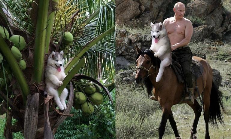 """Chú Husky """"ngã cây"""" chu du khắp thế gian nhờ thánh Photoshop"""