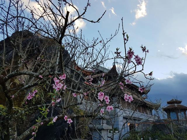 Từng cây đào quý tại khu du lịch Sapa - Fansipan Legend đồng loạt bật tung sắc màu rực rỡ