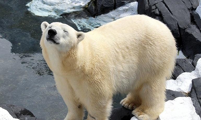 Cộng đồng yêu động vật phẫn nộ trước cái chết vì thất tình của chú gấu Bắc Cực
